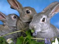 правильная вакцинация кроликов