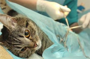 стерилизация или кастрация кота