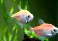Ихтиофтириоз у аквариумных рыбок