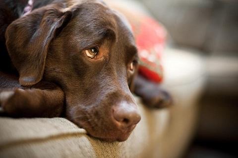 Абсцесс на морде у собаки