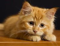 калицивироз заболевание кошек