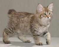 Бобтейл порода кошек с коротким хвостом