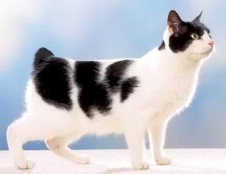 Кошка с укороченным хвостом