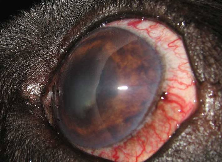 Лечение глаукомы у кошек