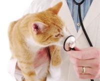 Как подготовить кошку к стерилизации?