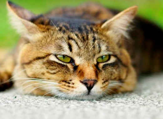 Кастрация кошек подготовка
