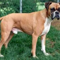 Боксер - служебная порода собак