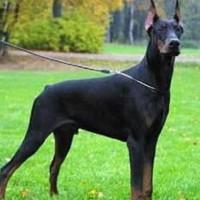 Домерман служебная собака