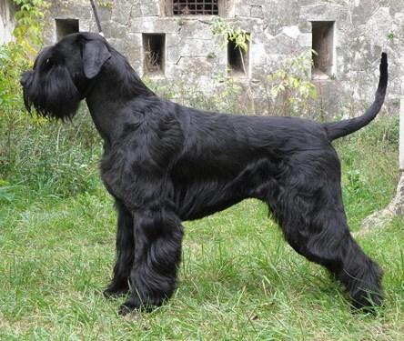 Служебная собака риттершнауцер