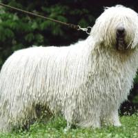 Командор служебная собака