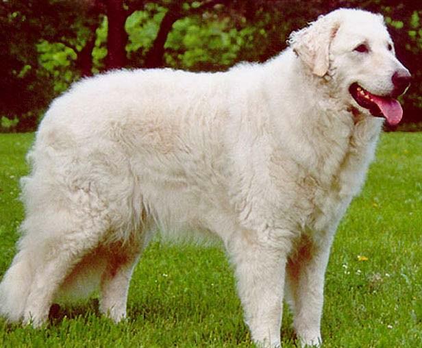 Кувас служебная собака