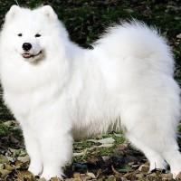 Служебная самоедская собака