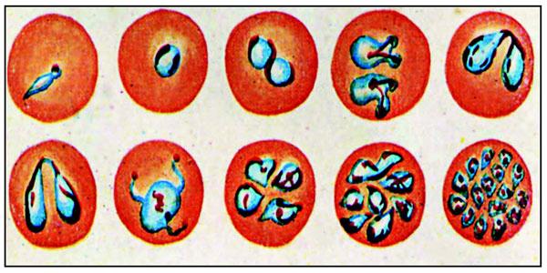 Бабезиоз собак кровь
