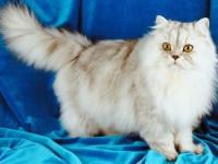 Заболевания персидских кошек