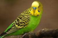 Основные болезни попугаев