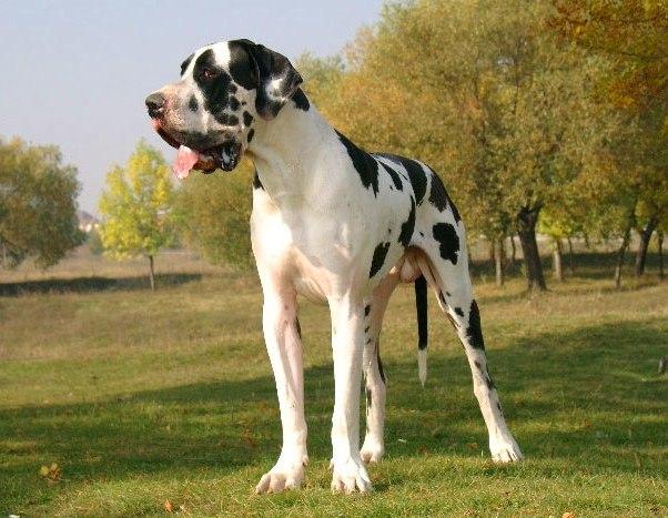 Служебная порода собак Дог