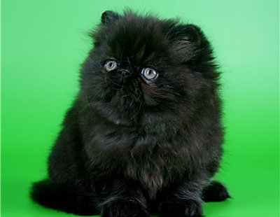 Перс кошка