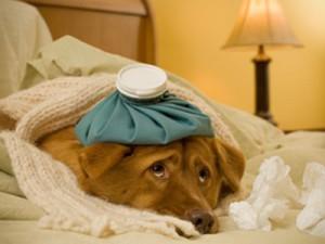 Ринит и ларингит у собаки