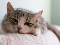 Почему у кошки рвота?