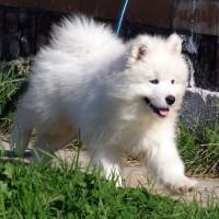 Служебные собаки - самоедская