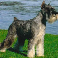Служебная собака митерршнауцер