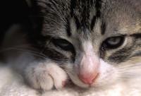 Цистоизоспороз у кошек