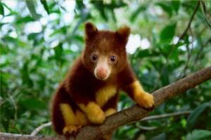 Древесные жители: кенгуру