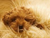 Гигиена собак: уход за шерстью