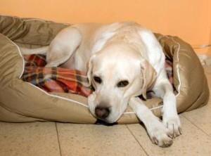 Симптомы бабезиоза у собак