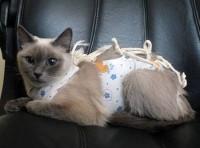 Правильный уход за кошкой после стерилизации