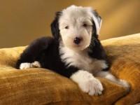 Лечение кокцидиоза у собак
