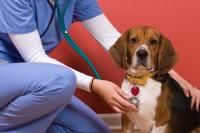 Обязанности ветеринарного врача