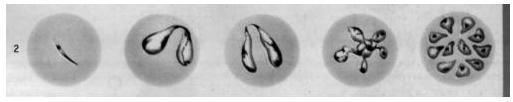 Бабезии в эритроцитах