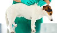 Бабезиоз у собак