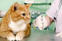 Как делать кошке укол?
