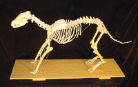 Анатомия собаки: скелет
