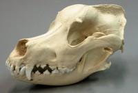История анатомии животных