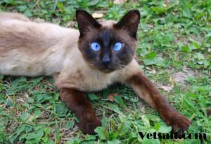 Косоглазие у сиамской кошки