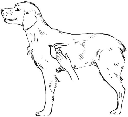 Сердечный толчок у собаки - исследование