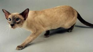 Нарушения вестибулярного аппарата у сиамских кошек