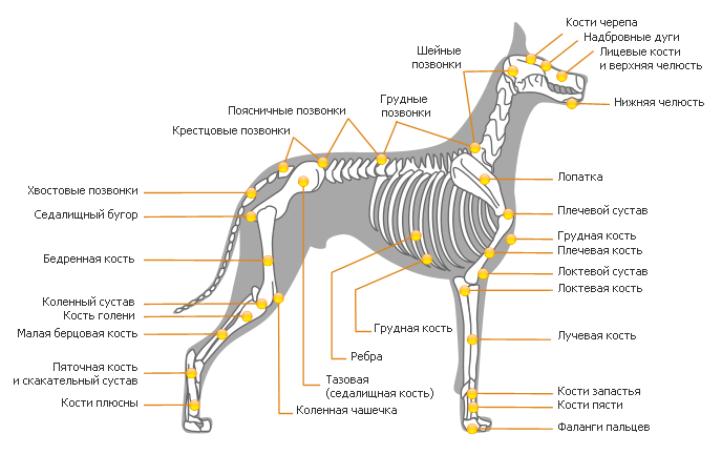 Позвоночник собаки: анатомия