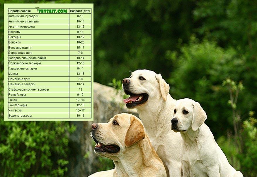 Продолжительность жизни пород собак