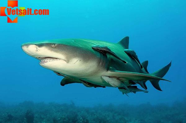 Размножение акул