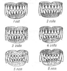Как определить возраст собаки по зубам?