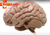 Головной мозг животных