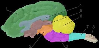 Строение головного мозга собаки