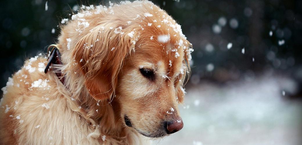 Как выгуливать собаку зимой?