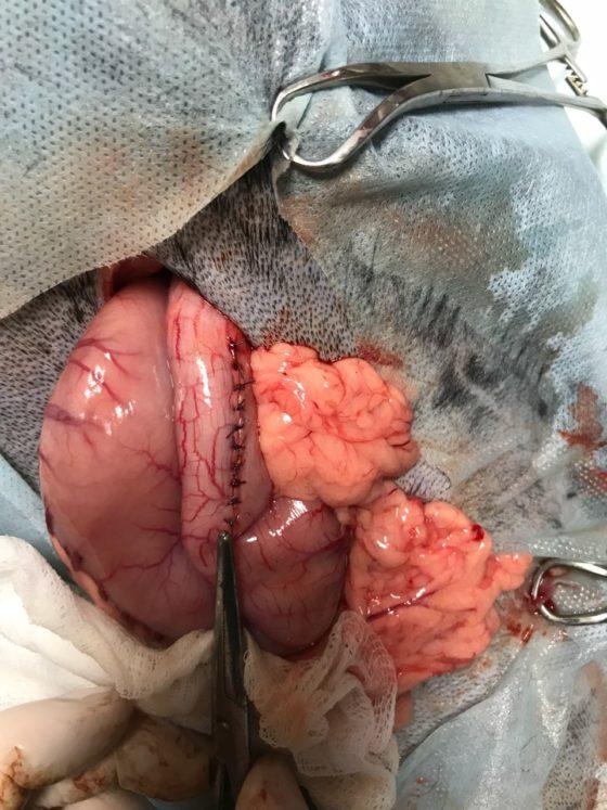 Гастротомія з видаленням постороннього тіла з шлунку собаки
