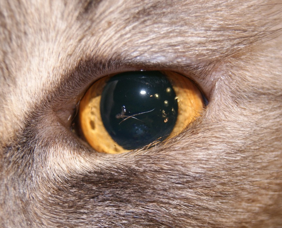 Заворот повіки у кота, блефаропластика