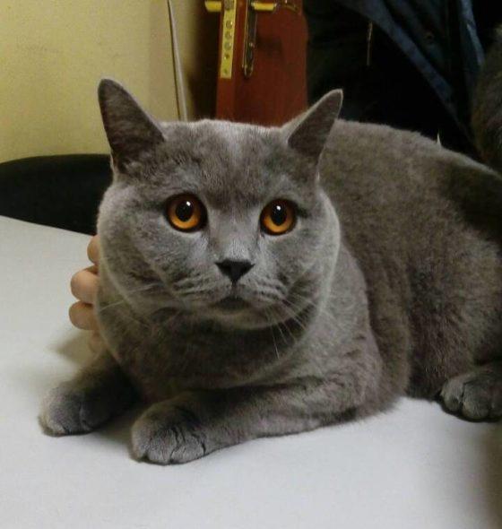 Блефаропластика у кота, заворот повіки